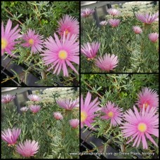 Pigface Soft Light Pink x 1 Succulents Groundcover Plants Flowering Hanging Baskets Rockery Pots Hardy Drought Frost Tough Evergreen Mesembryanthemum crystallinum