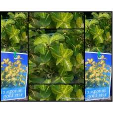 Pittosporum Gold Star x 1 Plants Colourful Hedge Garden Screen Border Hedging Pots tenuifolium