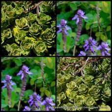 Cuban Mint/Spanish Thyme x 1 Succulents Plectranthus amboinicus Hardy plants Coleus Herbs Rockery Hanging Baskets Groundcover Cottage Garden Herbal Patio Balcony Border