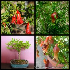 Pomegranate Dwarf x 1 Punica granatum nana Hardy Fruit Shrub Herbs Plants Edible Cottage Garden Compact