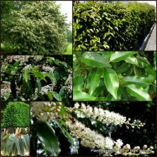 Portuguese Cherry Laurel x 1 Hedge Plants Prunus lusitanica Screening Hedging Scented white flowering shrubs trees Portugal Garden