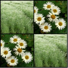 Pyrethrum x 1 Daisy White Flowers Insecticide Hardy Drought Frost Chrysanthemum Tanacetum cinerariifolium