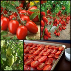 Roma Tomato Plants x 10 Plum Solanum lycopersicum Fruit Vegetable Garden Pots Edible Salad Cooking