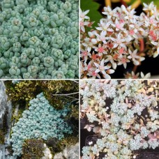 Sedum dasyphyllum Minor Rainbow x 1 Succulents Plants Groundcover Grey Corsican Hanging Basket Pot Thick Leaf Love and Tangles Stonecrop Hardy Rockery Garden