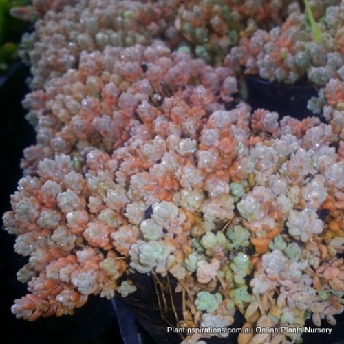 Sedum dasyphyllum minor rainbow x 1 Succulents Plants Groundcover Grey Corsican Hanging basket Succulent Pot Thick leaf Love and Tangles Stonecrop Hardy Rockery Container Patio Balcony Garden