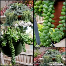 Sedum Burrito x 2 Plants Silver Grey Hanging Basket Succulents Donkeys Tail Burro morganianum Hardy Bonbonniere Wedding Favors gifts Stonecrop etc
