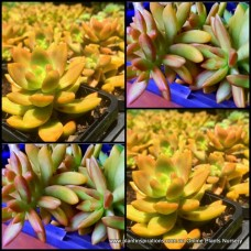 Sedum nussbaumerianum Coppertone x 2 Plants Stonecrop Succulents Groundcover Hanging Basket Hardy Yellow Gold Bonbonniere Wedding Favors gifts Graptosedum etc