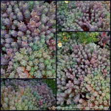 Sedum x 1 Lizard of Madagascar Succulent Hardy Groundcover Hanging basket Plants Bonbonniere Wedding Favours Rubens