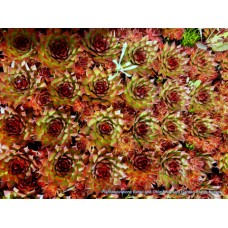 Sempervivum Red x 1 Hen and Chicks Hardy Succulents Pot plants.Indoor/outdoor Patio Balcony Veranda Houseleeks Liveforever &