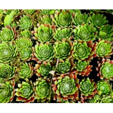 Sempervivum Green x 1 Hen and Chicks Hardy Succulents Pot plants.Indoor/outdoor Patio Balcony Veranda Houseleeks Liveforever &