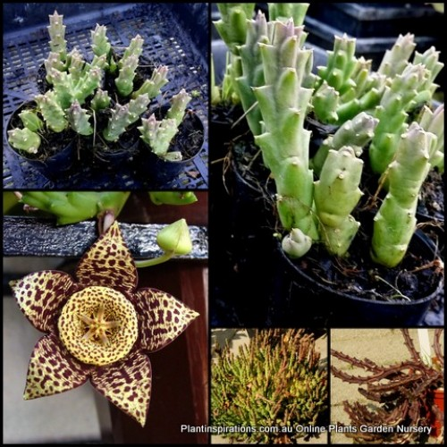 Starfish Flower x 1 Stapelia orbea variegata Succulents Carrion Plant Cactus Cacti Stisseria lepida Flowering Hardy Groundcover Hanging Basket Patio