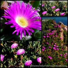Giant Flowering Native Pink Pigface  x 1 Succulents Groundcover Plants Very Hardy Carpobrotus glaucescens Rockery Garden Drought Frost Pig Face