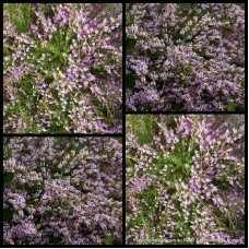 Thryptomene Pink Lace x 1 Shrubs Hardy Native Plants Hedge Rock Bush Garden saxicola