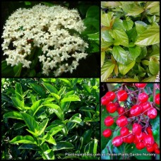 Japanese Viburnum japonicum x 1 White Fragrant Flowering Hedging Screening Plants Evergreen Flowers Shrubs Bush