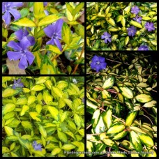 Vinca Illumination x 4 Shade Groundcover Blue/Violet Periwinkle Flowering plants minor variegata Patio Balcony Hanging Basket flowers variegated