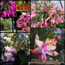 Zygocactus Mixed x 5 Plants 3 Types Flowering Hanging Basket Succulents Indoor/Outdoor Zygo Cactus Schlumbergera truncata Hardy Shade Patio Balcony Verandah