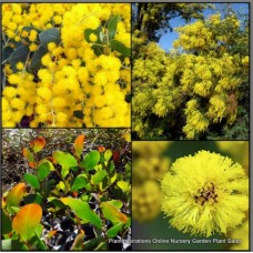 Golden Wattle x 5 Plants Acacia pycnantha Native Plants Trees Gold/Yellow Flowering Hardy Drought Frost Resistant Bird Attracting