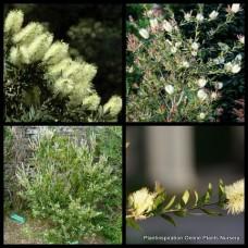 Bottlebrush Lemon x 5 Plants Light Yellow Callistemon pallidus Native Plants Shrubs Trees Bottle Brush Cream Flowering Rockery Screen Hedge