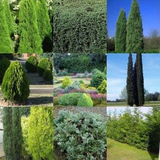 Conifers x 20 Random Mixed Pack 4 Types Hardy Narrow Hedge Deep Emerald Green Pine Cypress Plants Shrubs Christmas Trees Pyramidal Conical Pots Bonsai Topiary Groundcover