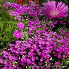 Delosperma cooperi Pink Carpet x 1 Hardy Succulents Trailing IcePlant flowering Groundcover Plants mesembryanthemum Shrubs Succulents