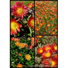 Delosperma Orange/Pink/Red/Yellow x 1 Hardy Succulent flowering Groundcover Plants Hanging Basket Shrubs Pig Face Pigface Succulents