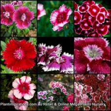 Dianthus Persian Carpet Mix x 1 Dwarf Groundcover Scented Flowering Cottage Garden Plants Shrubs Carnation Border Rockery Pots Hardy Frost Tough chinensis