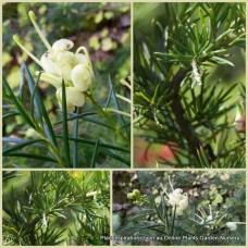 Grevillea rosmarinifolia lutea Yellow x 1 Rosemary Spider Flowers Cream White Pale flowering  Hardy Native Plants Shrubs