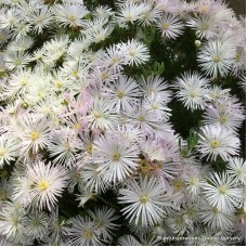 Pigface White x 1 Succulents Groundcover Plants Flowering Hanging Baskets Rockery Pots Hardy Drought Frost Tough Evergreen Mesembryanthemum crystallinum